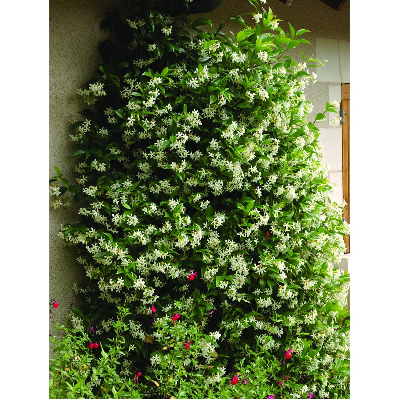 Jasmin étoilé (Trachelospermum) à mi-ombre, palissé sur une petite façade