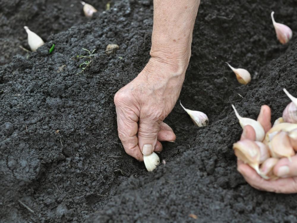 Plantation de l'ail